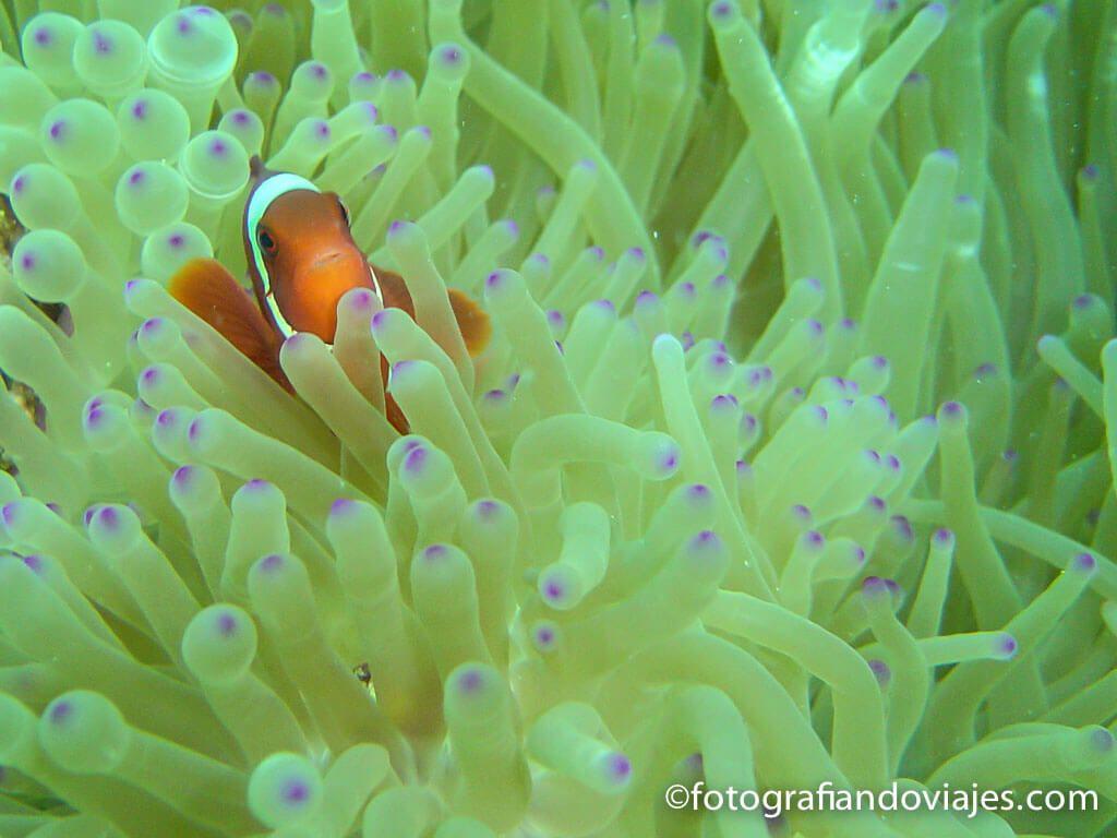 pez payaso y anémona