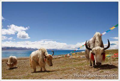 Yak en el lago Namtso