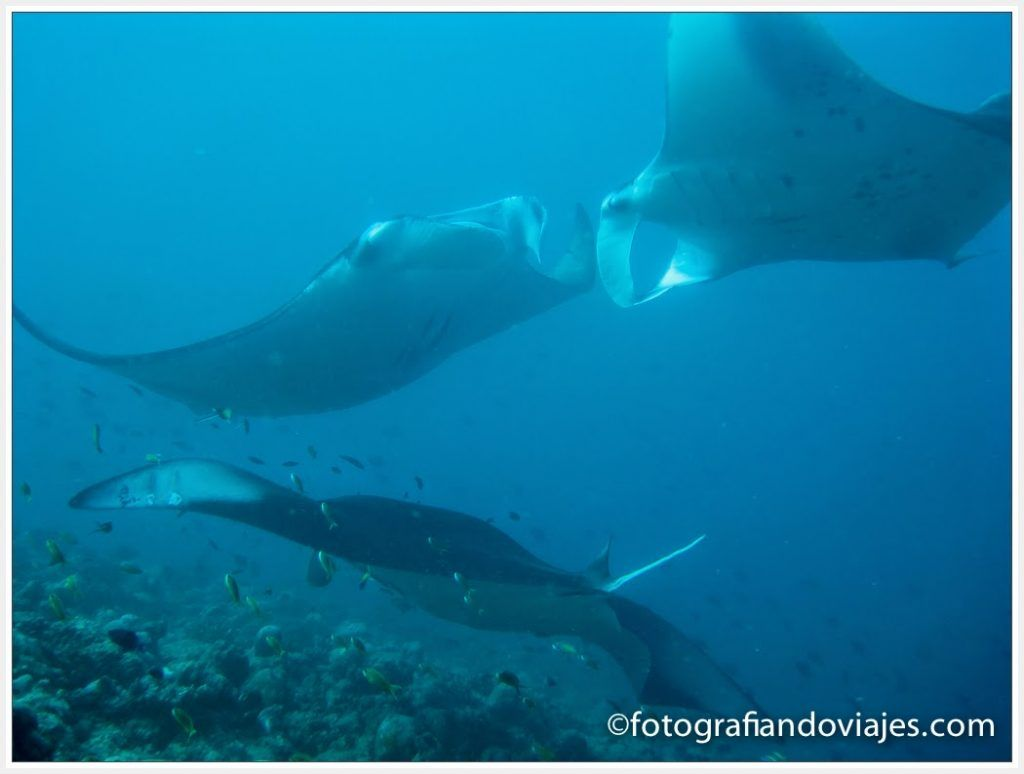 Manta diablo buceo Maldivas