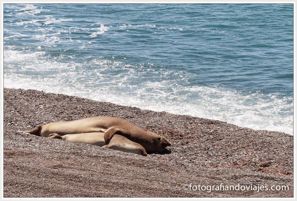 elefante marino en Península Valdés