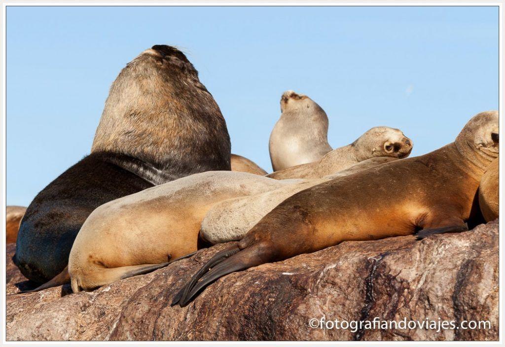 fauna marina Patagonia Macho de lobo marino con varias hembras en Puerto Deseado (Argentina)