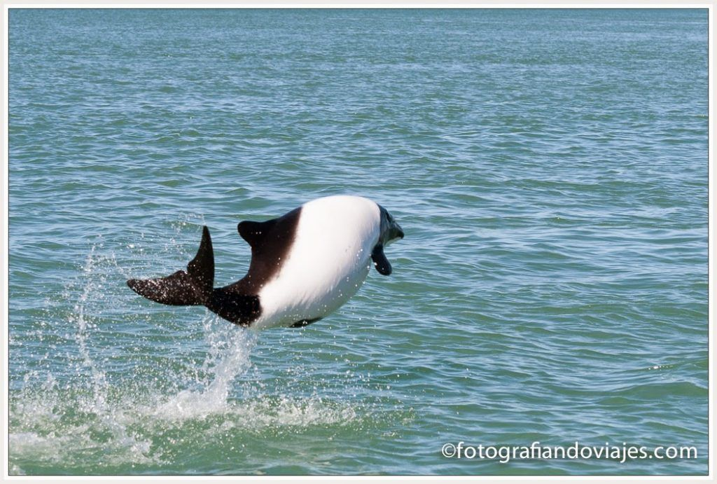 tonina overa fauna de Patagonia