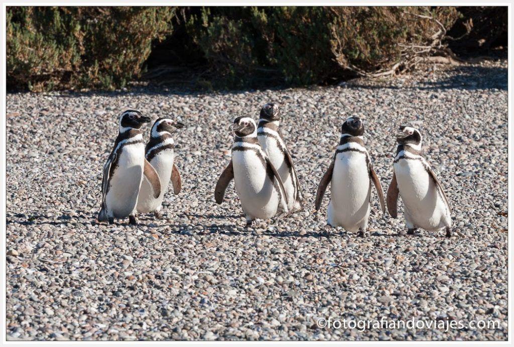 pingüinos de Magallanes en Patagonia, puerto deseado, Argentina