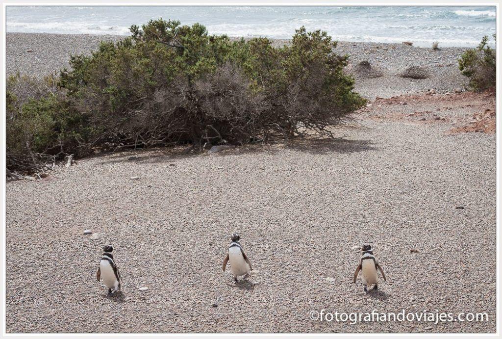 pingüinos en Punta Tombo Argentina