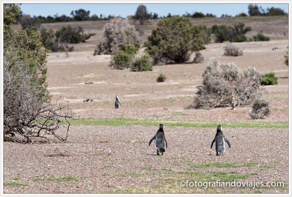 pingüinos patagonia