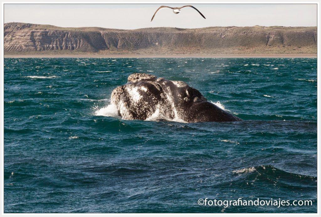 ballena austral en Península Valdés, Argentina