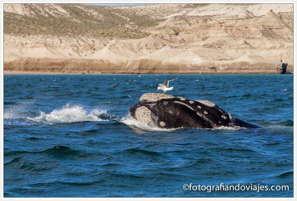 cetaceos en peninsula valles