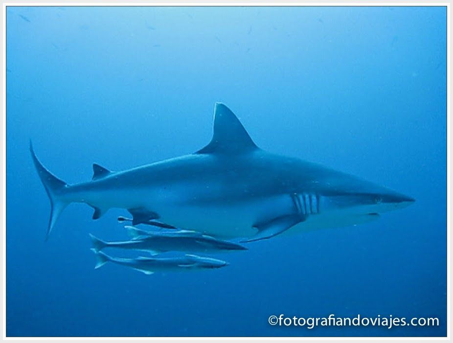 bucear con tiburones gris