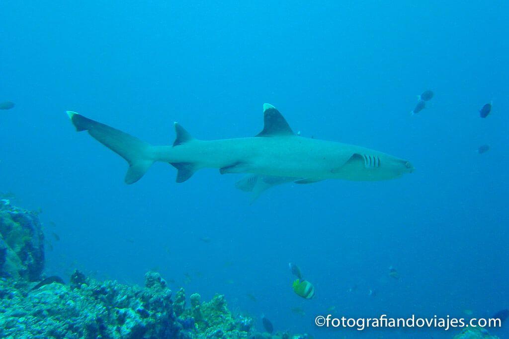 bucear con tiburones punta blanca