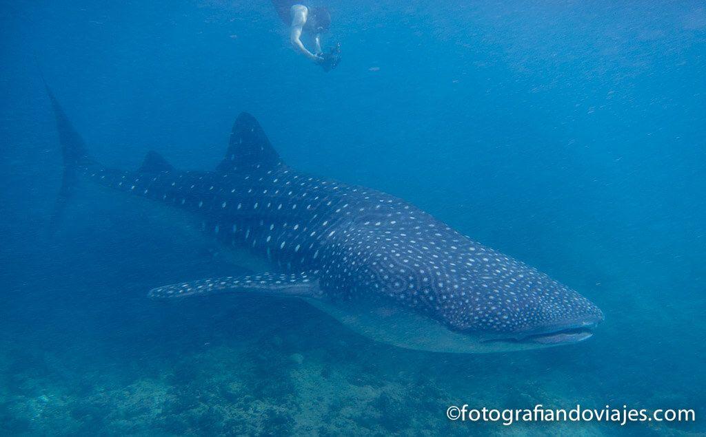 buceo con tiburones ballena