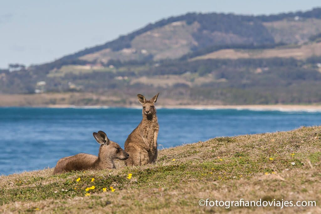 Canguro australia