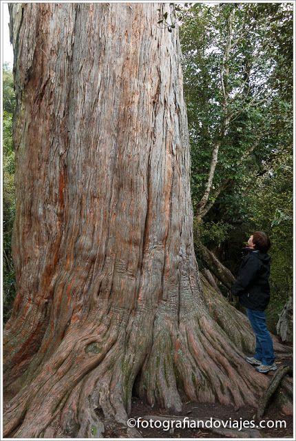 Big Tree en Peel Forest