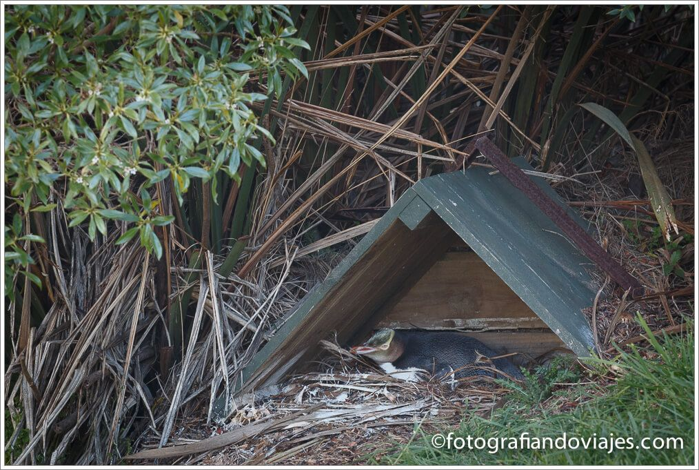 pinguino de ojos amarillos en la peninsula de Otago
