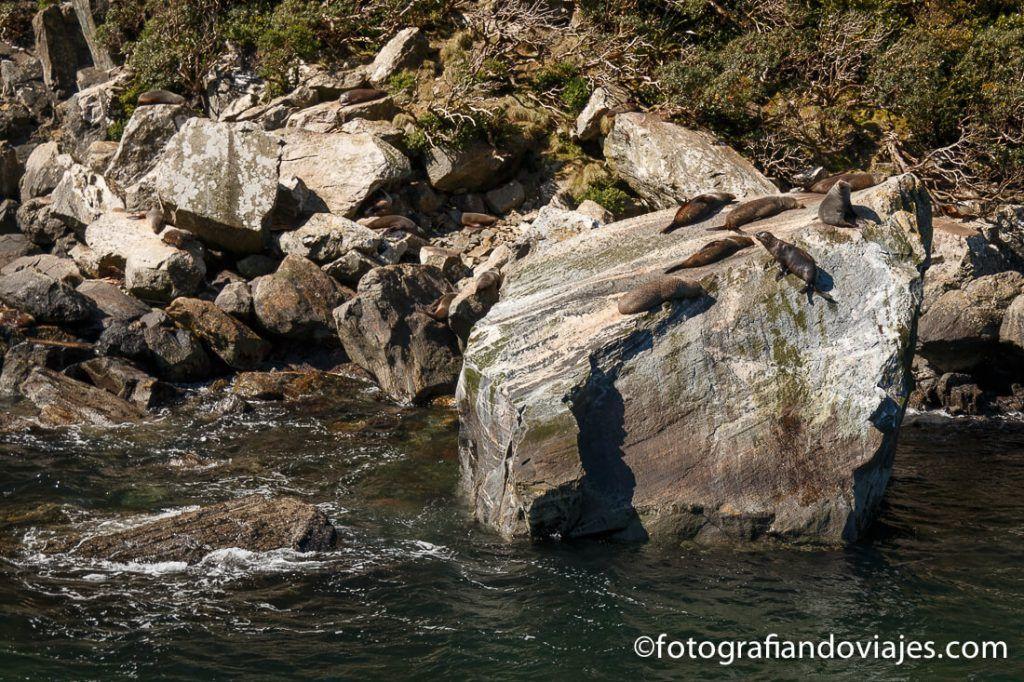 focas en Milford Sound