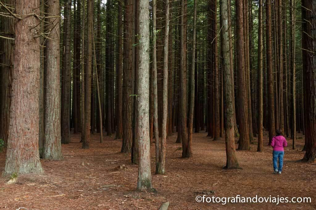 Secuoyas en Whakarewarewa forest rotorua nueva zelanda