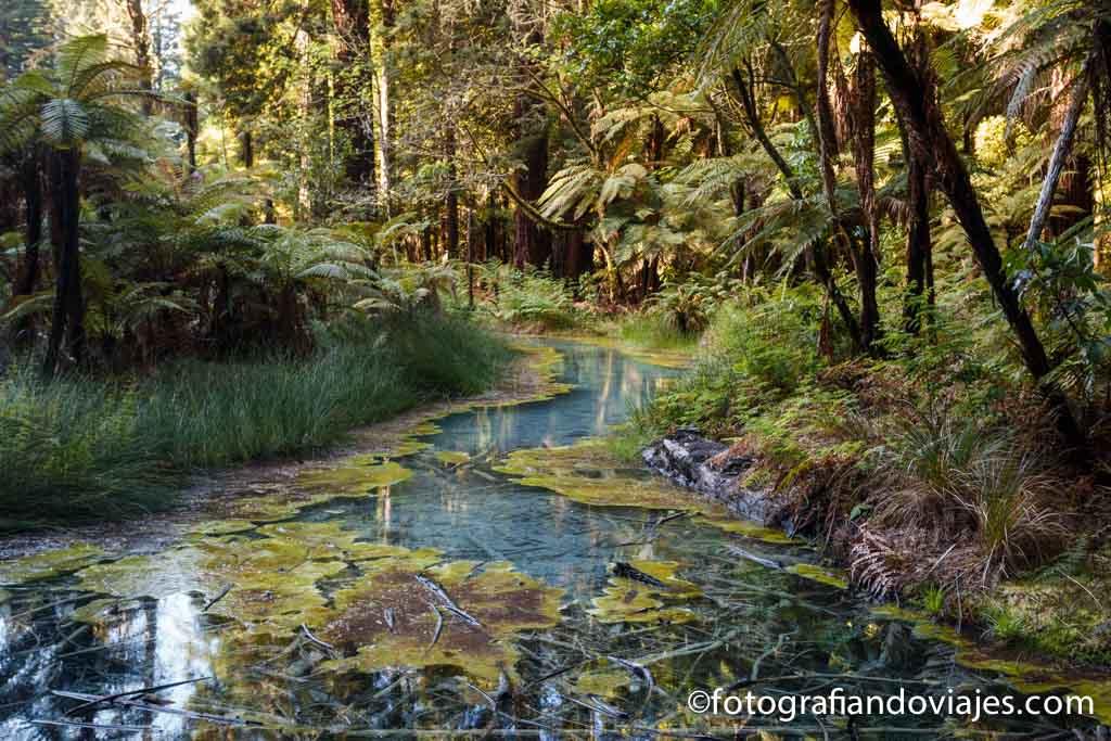 Whakarewarewa forest rotorua