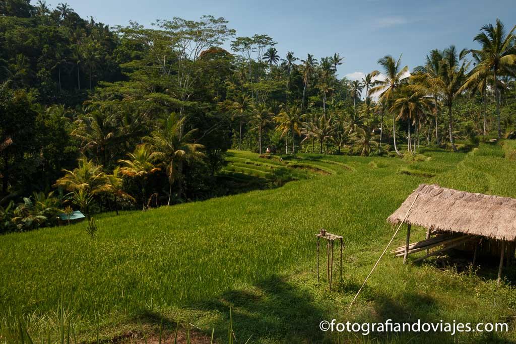 Arrozales en Pura Gunung Kawi Bali Indonesia