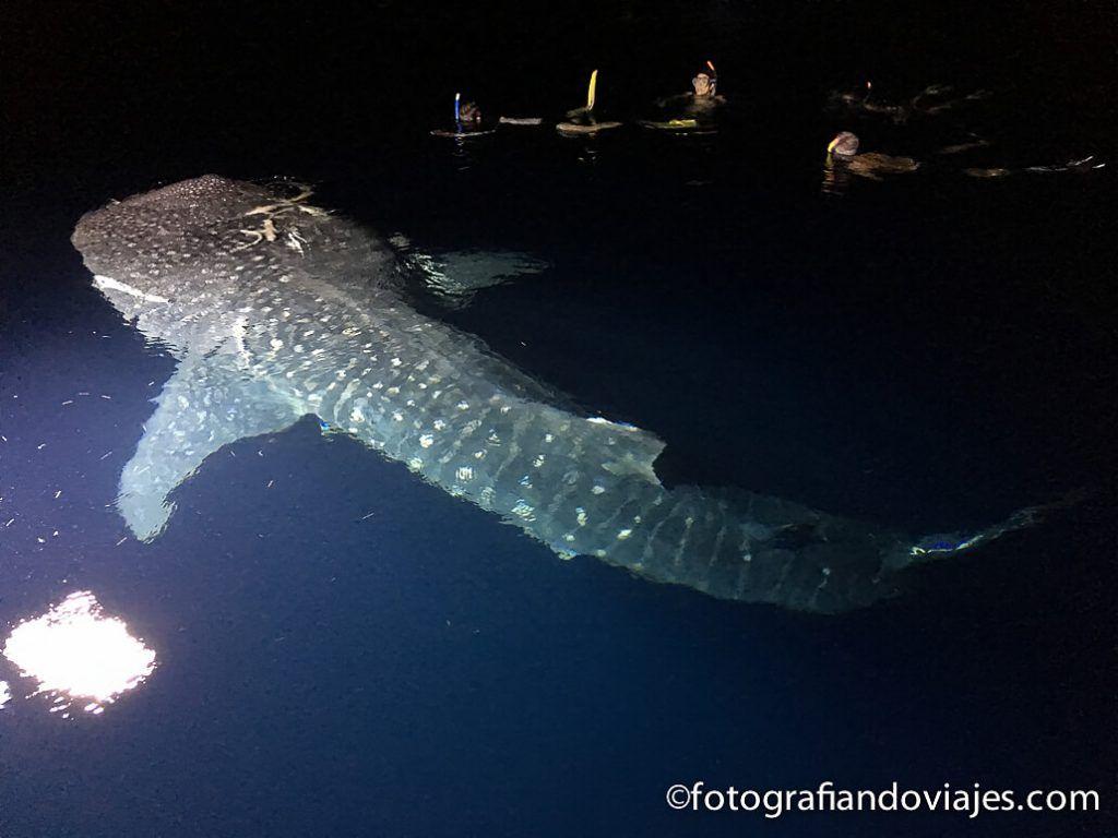 Buceo en Maldivas tiburón ballena