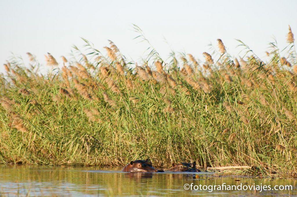 Hipopotamos en el delta del okavango