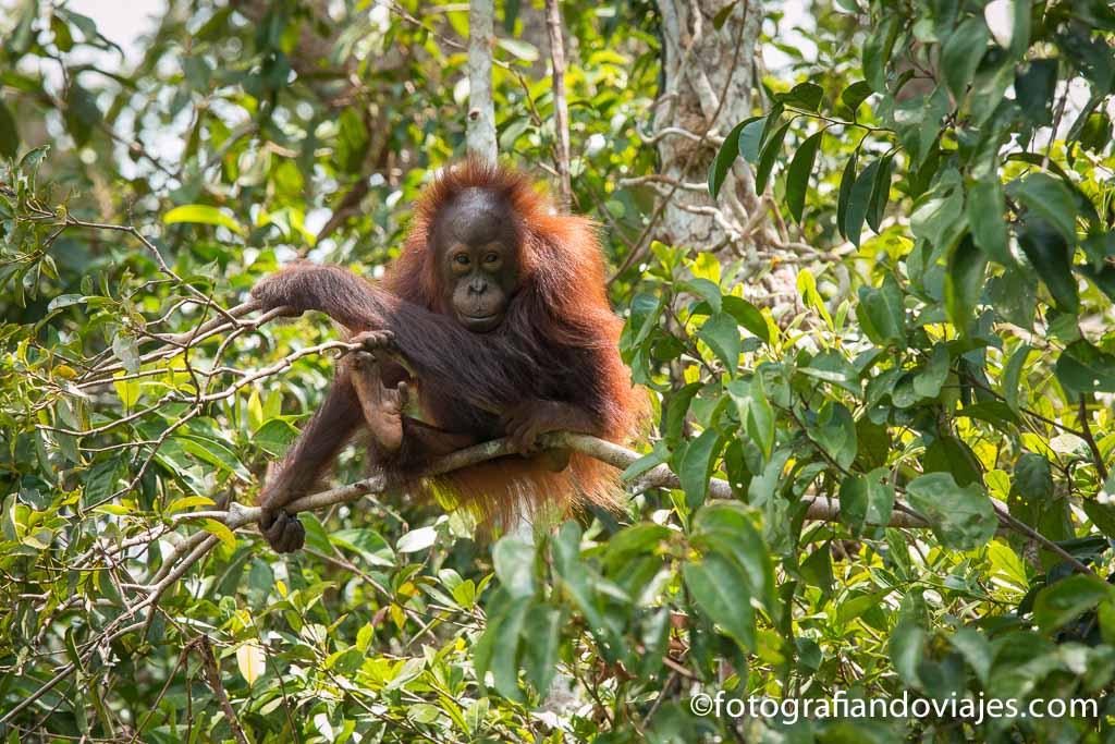 Borneo orangután