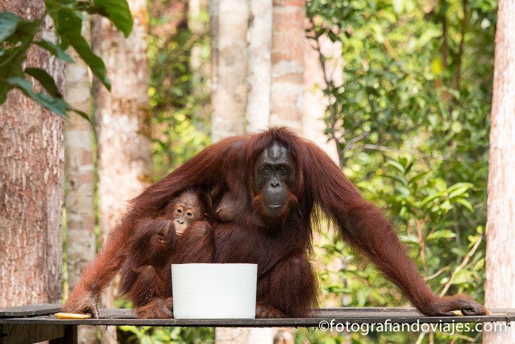 donde ver orangutanes en Borneo