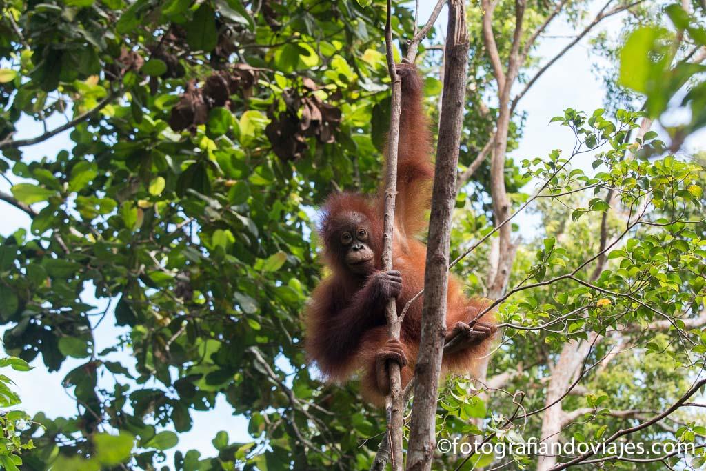 donde ver orangutanes en Borneo parque nacional Tanjung Puting