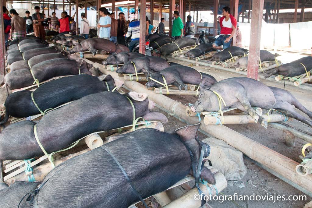 Cerdos sacrificio funeral tana taraja