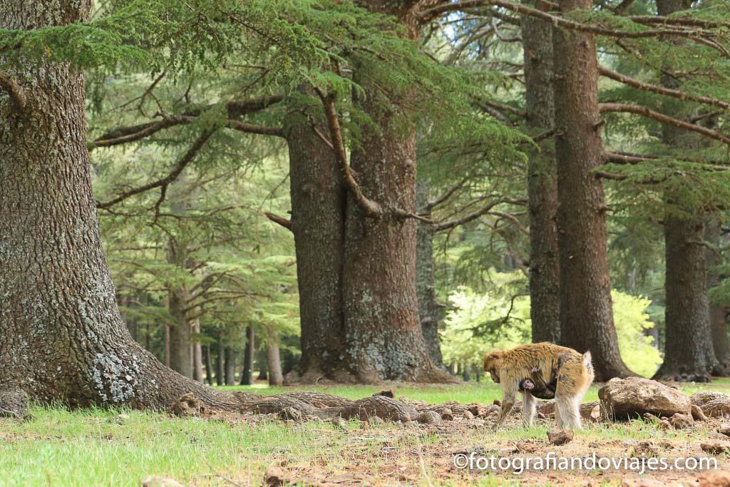 Entre fez y Merzouga esta el parque ifrane y sus macacos de berberia