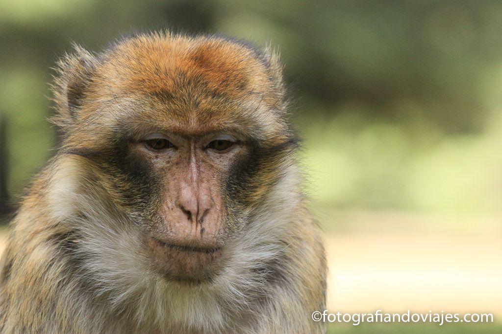 Macacos de berberia en Ifrane marruecos entre fez y merzouga