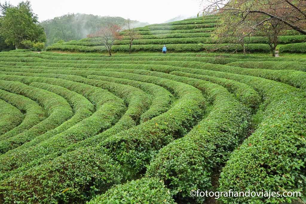 Plantacion te Boseong Green Tea Field Daehan Dawon