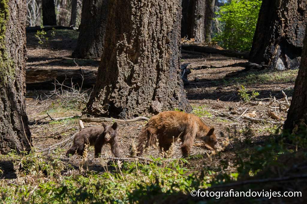 osos en el parque de las secuoyas de california