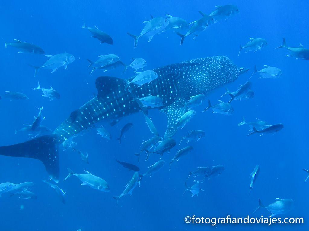 tiburon ballena Buceo en mar de Andaman Tailandia