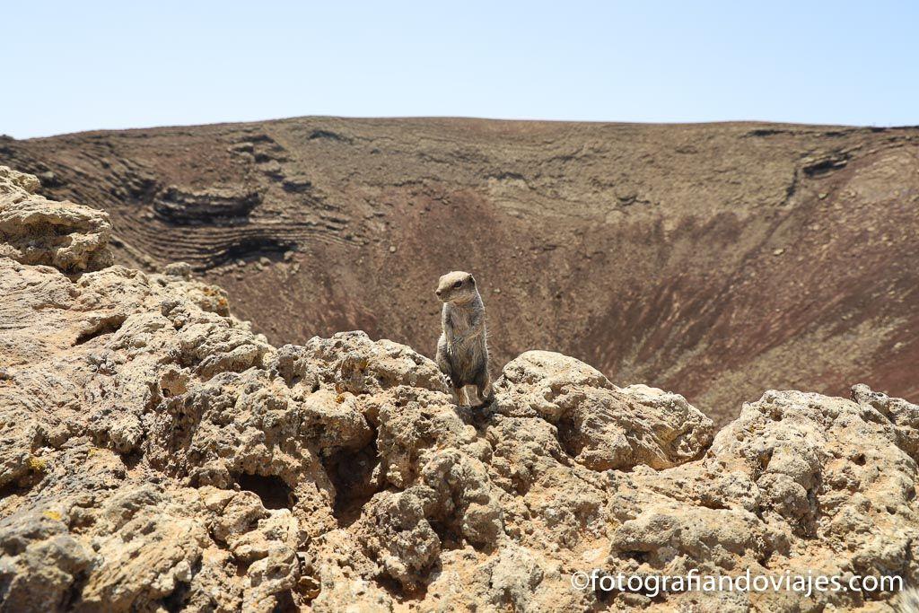 ardillas en Fuerteventura