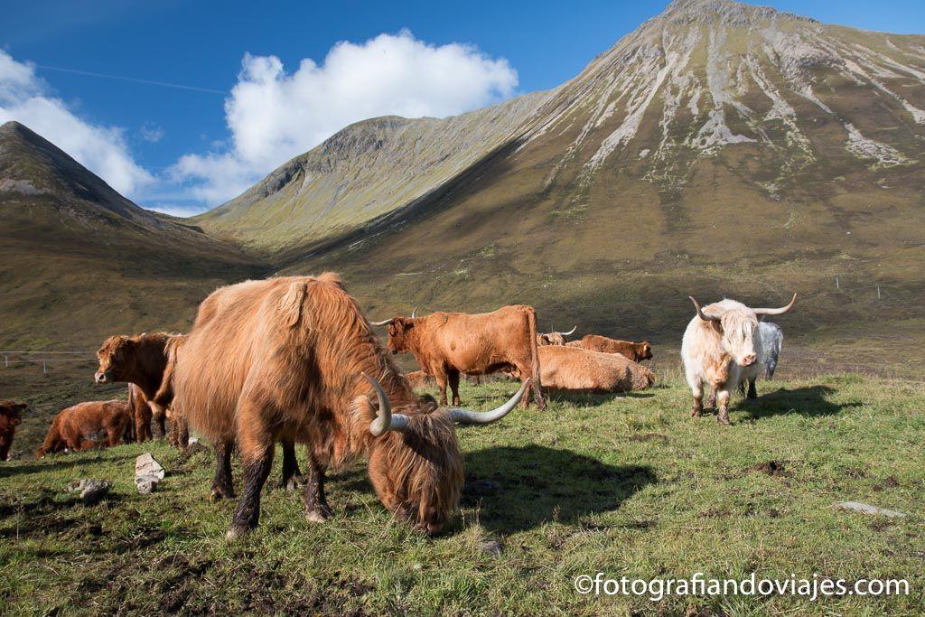 vacas de las highlands